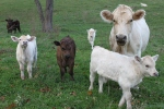 I managed to capture all 6 calves in oneshot…