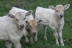 Young charolais calves…sweet!