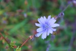 One of the last chickory blossoms. Love that cornflowerblue…
