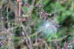 An autumn milkweedseed…